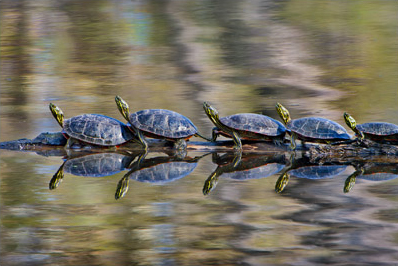 Turtles in a Row