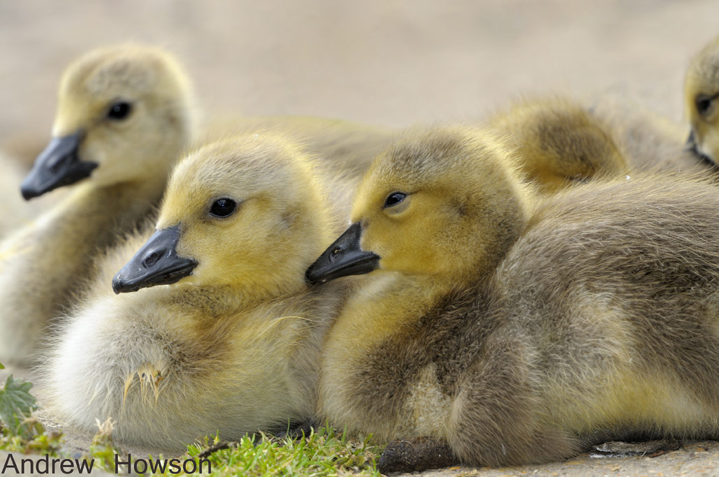 Baby Canada Geese, Stanborou - Andrew Howson