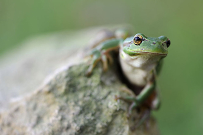 Frog_small