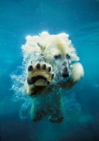 underwater-polar-bear