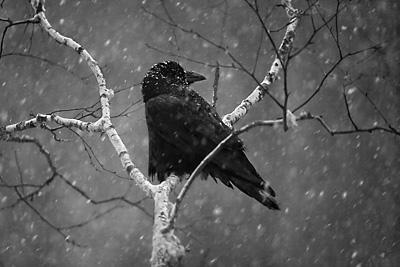 Raven in Birch by Jim Brandenburg