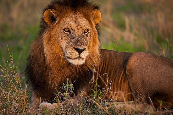lion-photography-safari