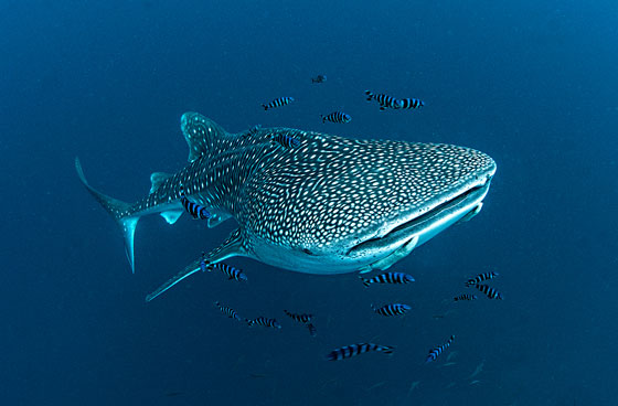 Whale Shark with Pilot Fish & Remoras