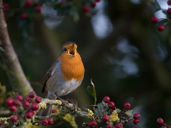 wildlife-photography-robin-red-breast
