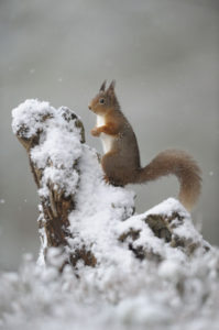Red Squirrel - Russell Childs