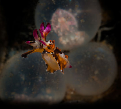 "A baby flamboyant cuttlefish emerges from its egg. Nikon D300 + 105mm f/2.8 Micro: f/22, 1/160"", ISO 200"