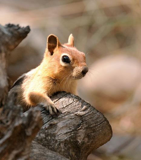 autumn-photographt-chipmunk