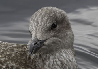 seagull-closeup