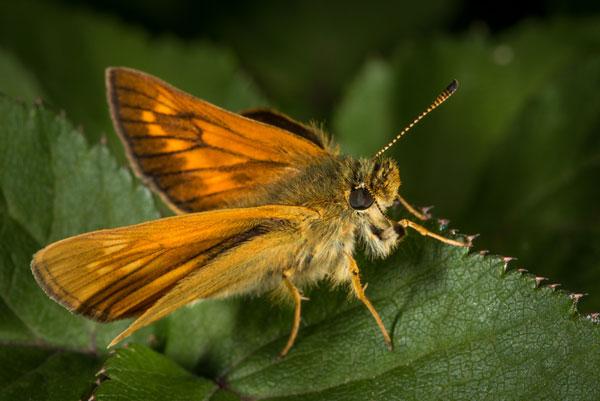 Dave-Myles-Buttefly
