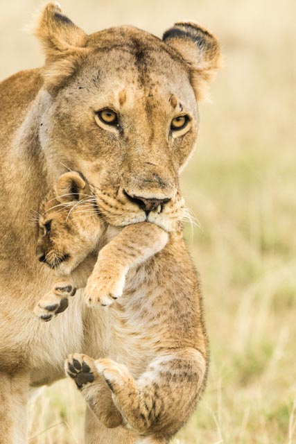 paul-downing-lioness-carrying-cub